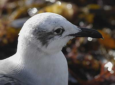 Laughing Gull, Ovingdean Beach November 4, 2005